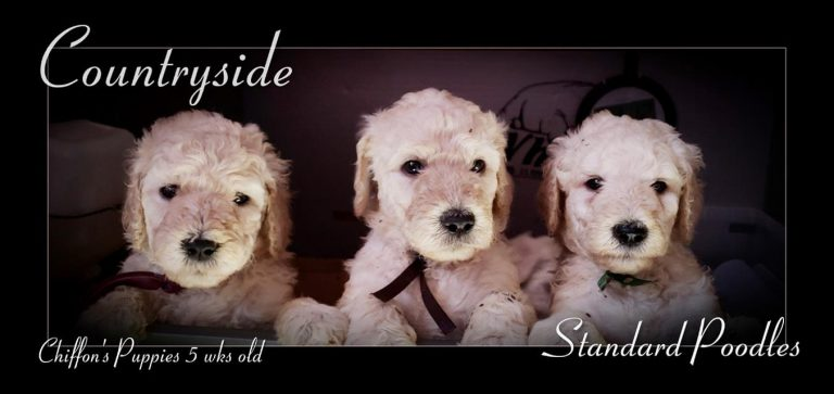 Three Cream Poodle Puppies five weeks old