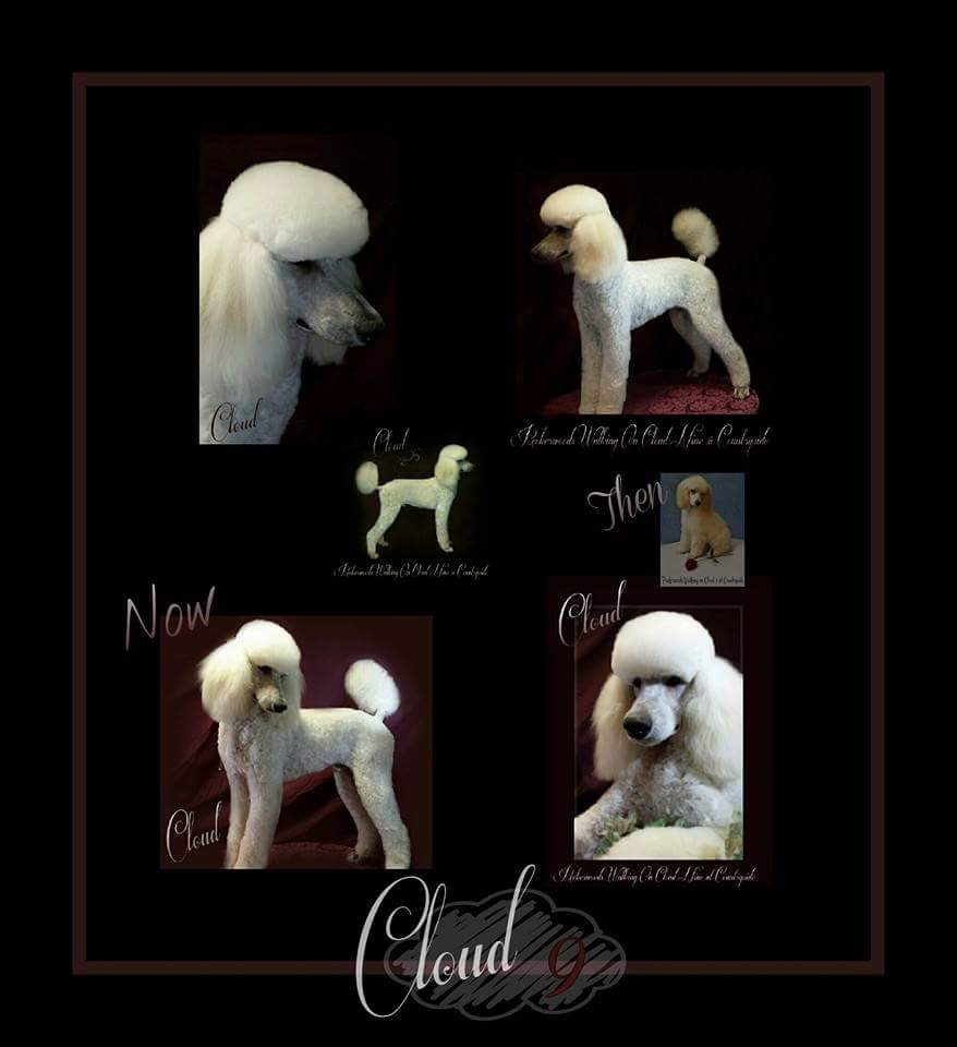 collage of white poodle