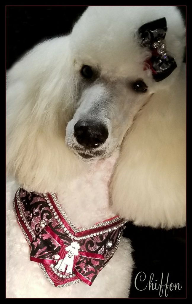 white poodle wearing black and red neck accersories