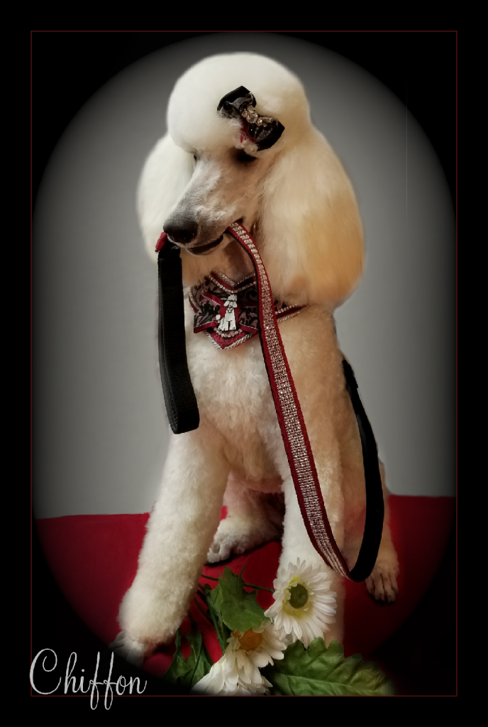white poodle holding leash in her mouth