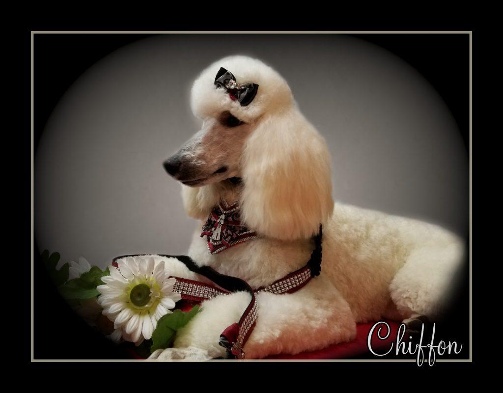 white poodle's side profile