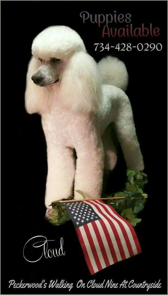 "white poodle standing by an American flag with caption ""Puppies available"" with phone number"