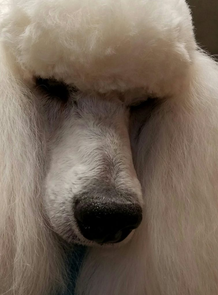 close up of a white poodle's face