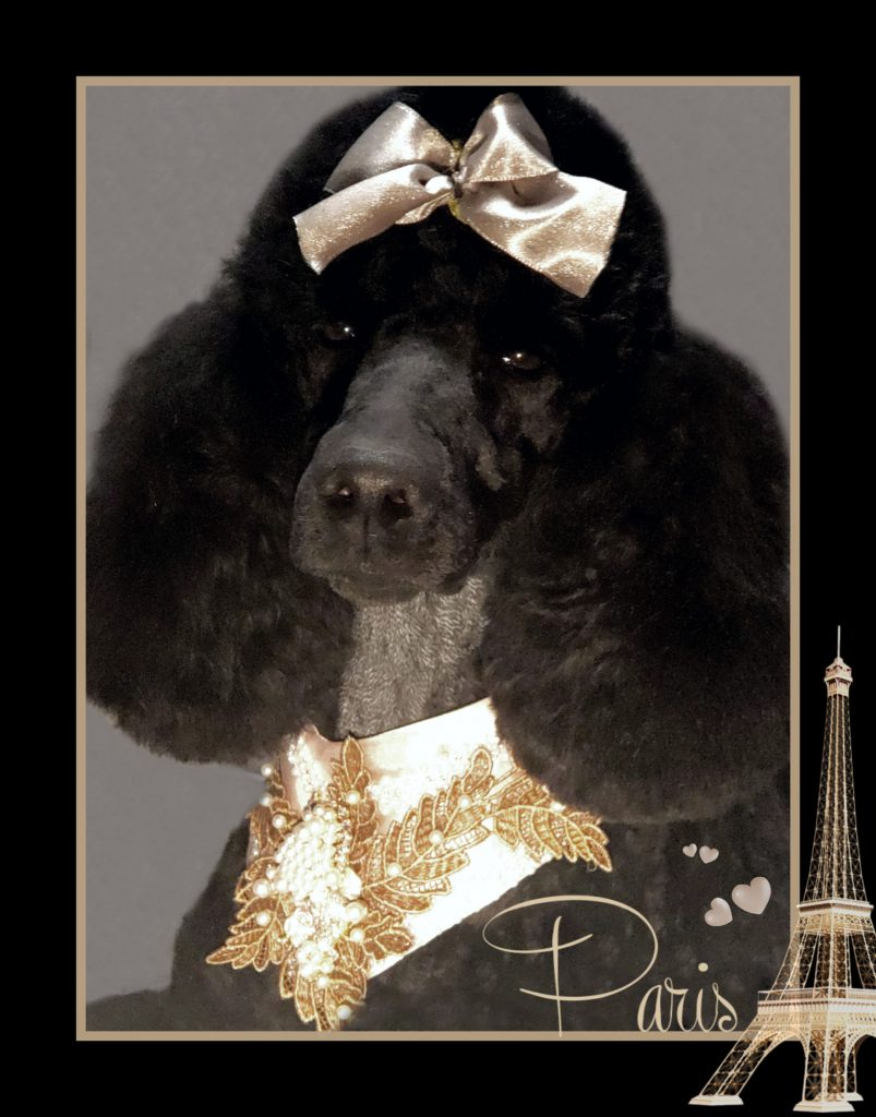 black poodle with brown head and neck accessories