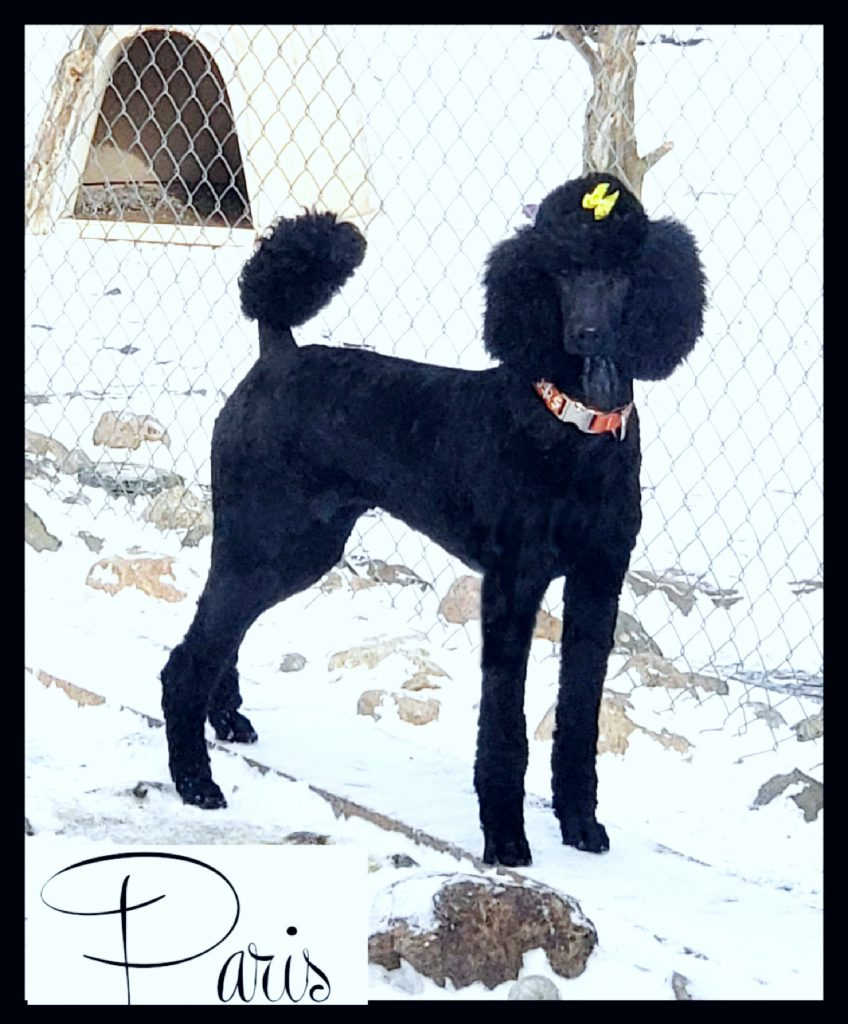 black poodle side profile facing camera in snow