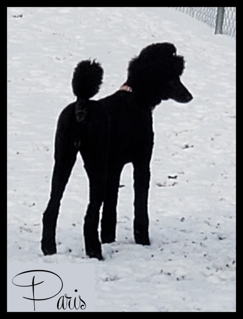 black poodle facing away fdrom camera in snow