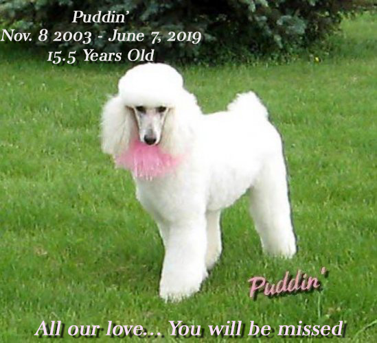 "white poodle with caption ""Puddin' Nov 8 2003 - June 7 2019 15.5 years old All our love... You will be missed"""